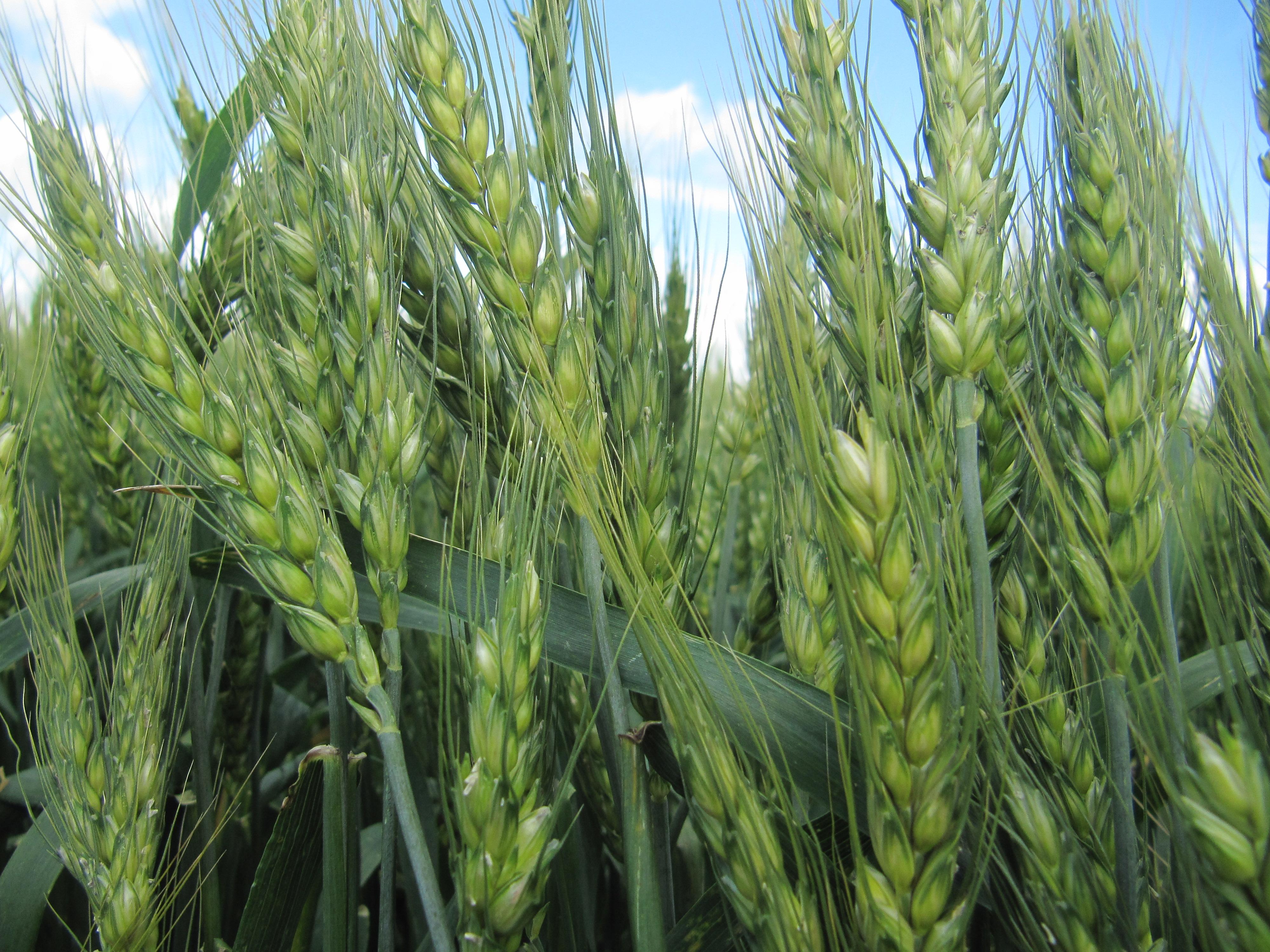 Як підвищити врожайність та якість озимої пшениці?
