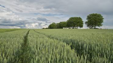Врожайність пшениці — чинники впливу